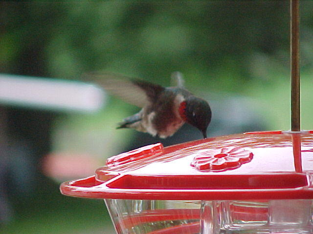 Photograph of a male ruby throated hummingbird drinking from a hummingbird feeder while hovering in flight