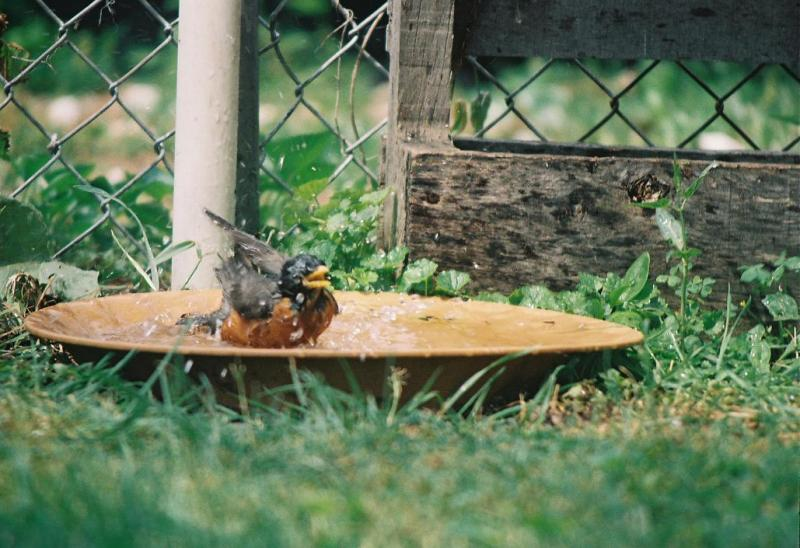 Photograph of a robin bathing in a shallow bowl filled with water