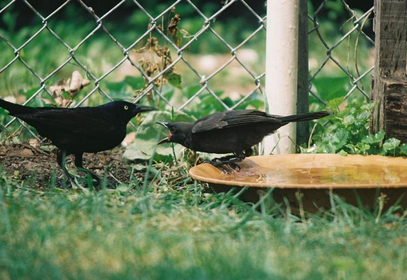 Photograph of a fledgling grackle perched on the rim of a shallow bowl while an adult grackle stands in the grass nearby