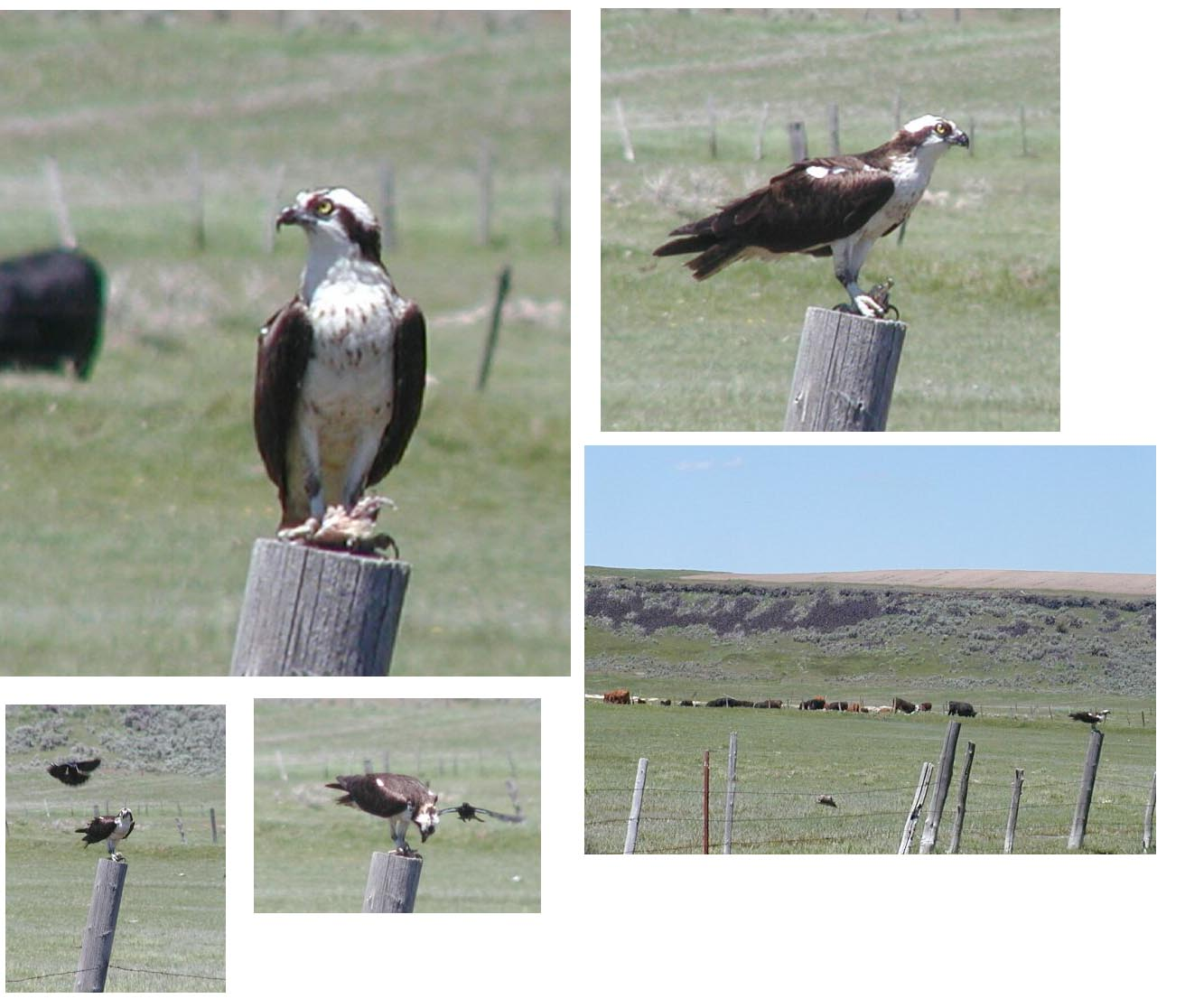 Multiple photographs of an osprey perched on a fence post at a cattle farm