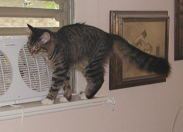 Photograph of a long-haired brown tabby cat balancing on a narrow windowsill, indoors