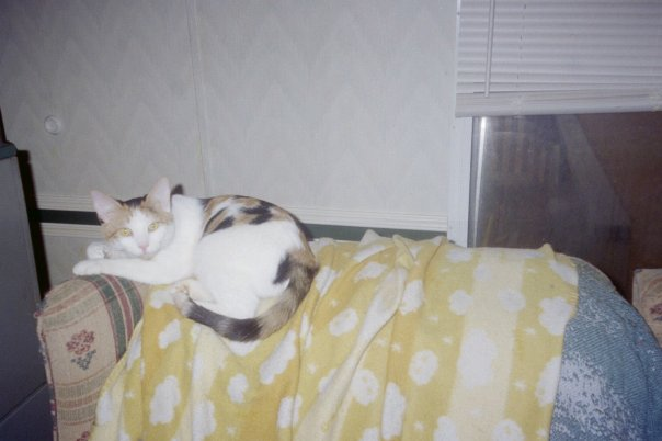 Photograph of a calico cat lying on the back of a sofa