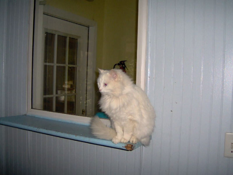 Photograph of a long-haired white cat sitting on a ledge in front of a mirror