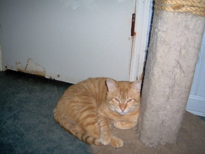Photograph of an orange tabby cat lying next to a scratching post or cat tree